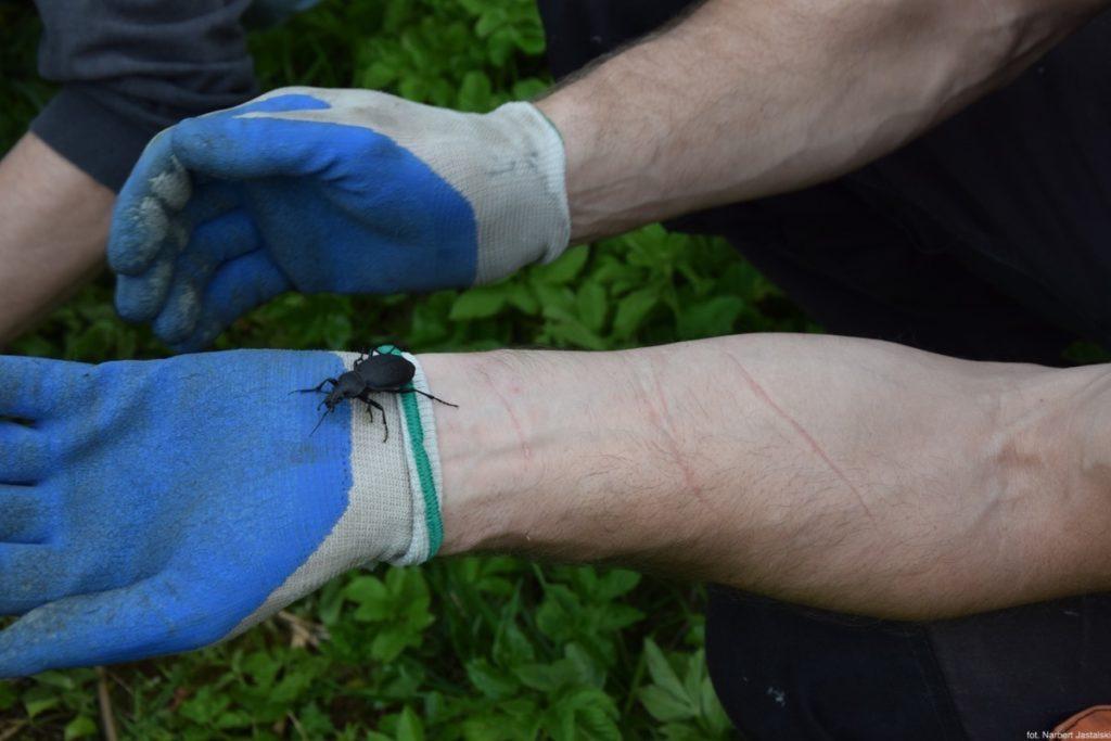 Chruśniakowa altanka - żuk znaleziony pod podłogą